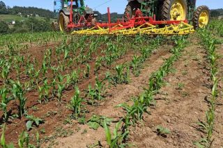 Xornada en Boimorto sobre control de malas herbas no millo en ecolóxico