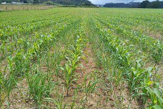 Campaña de millo: retraso no crecemento polo frío e a chuvia e problemas coas malas herbas