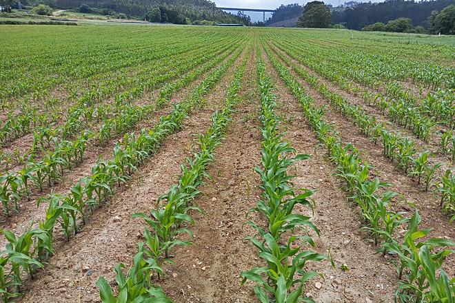 Finca de millo na comarca da Mariña, onde o cultivo acumula retraso malia ser labrado cedo