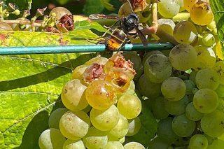 Comezan os primeiros danos da vespa velutina nos viñedos de Pontevedra