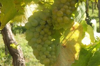 Recomendacións para o coidado da viña durante os próximos días