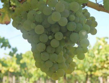 Aconsellan manter vixiadas as viñas ante danos de mildio e botrite