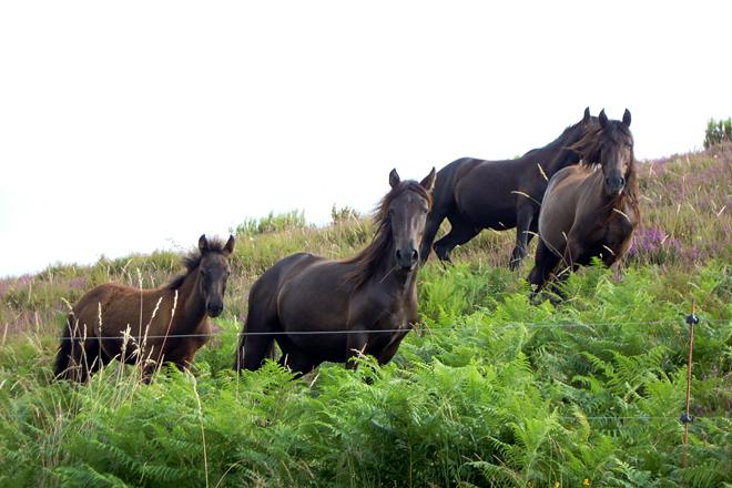 GANADOS AMANEI (Baleira) cabalos Puraga en Córneas (Baleira)