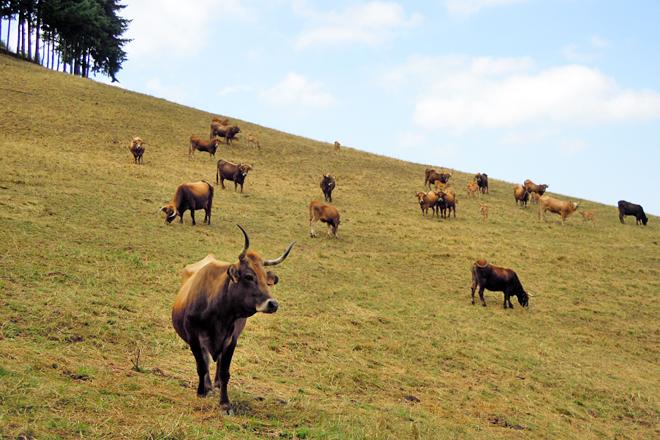 GANADOS AMANEI (Baleira) vacas vianesas de Amaro Lopez