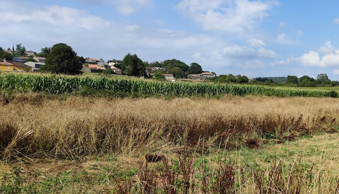Este ano, nunha das parcelas nas que teñen previsto construír a granxa sementaron millo.