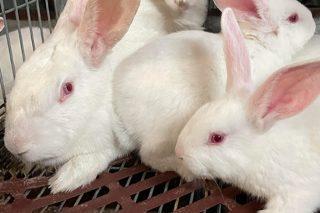 De Heus lanza un novo programa nutricional para a cría de coellos centrado na saúde intestinal