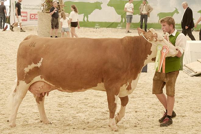 Unha das vacas gañadoras do concurso na feira do gando