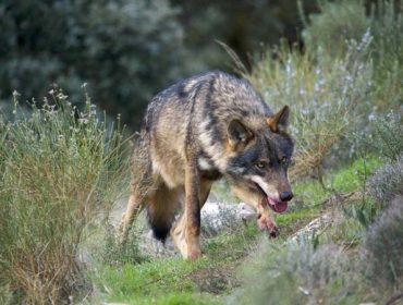 Esta é a estratexia do Goberno para o lobo