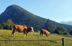 Vacas en pastos del valle.