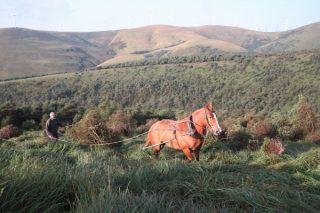 Tracción animal moderna para a conservación de hábitats na Serra do Xistral