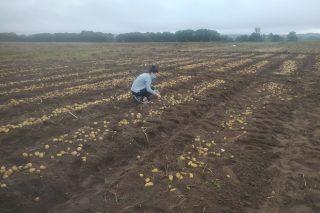 O Inorde e Neiker colaboran na investigación de futuras variedades de pataca