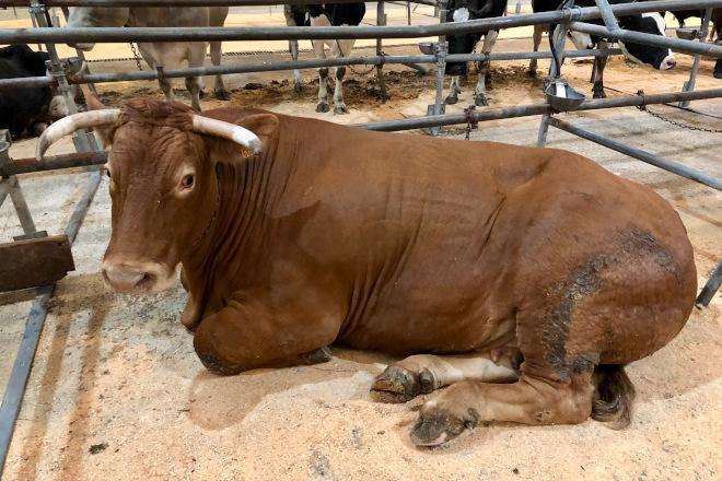 Prezo récord por unha vaca de raza Rubia Galega en Silleda: 5627 euros