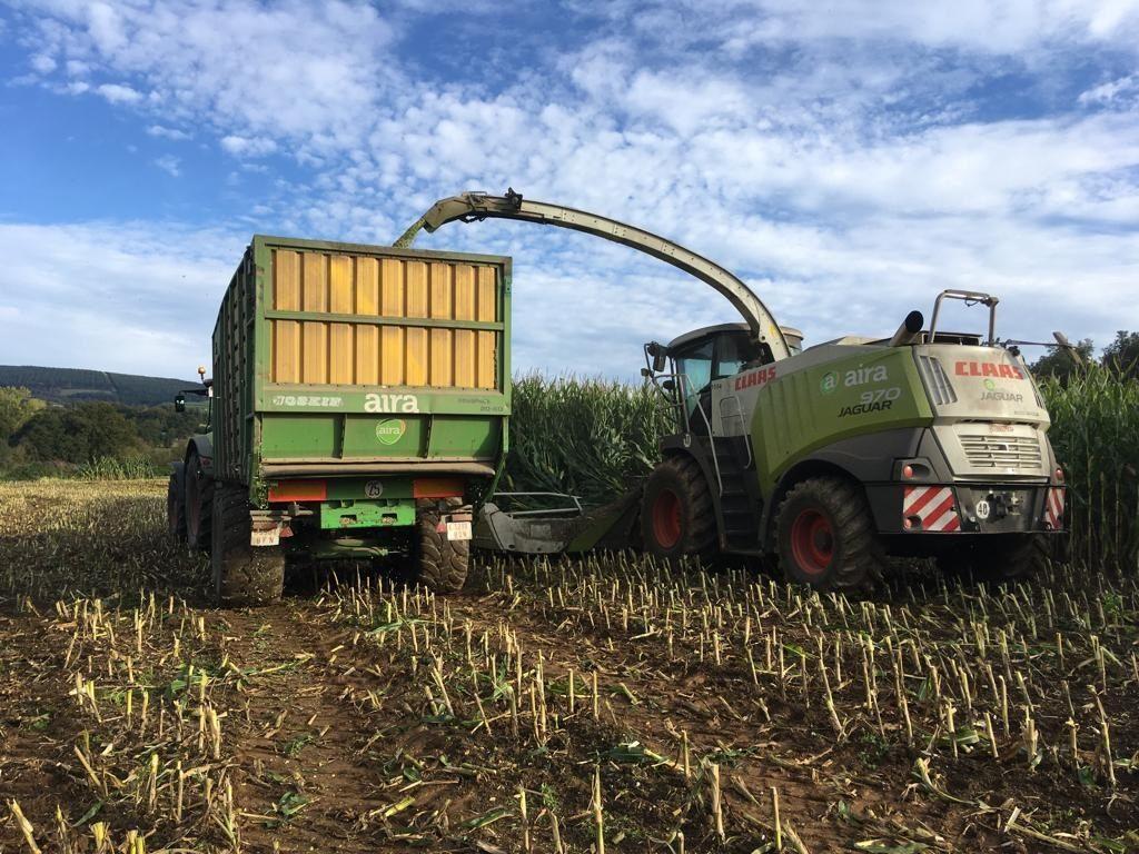 Picado do millo, realizado este ano con colleitadora e remolques do parque da cooperativa Aira